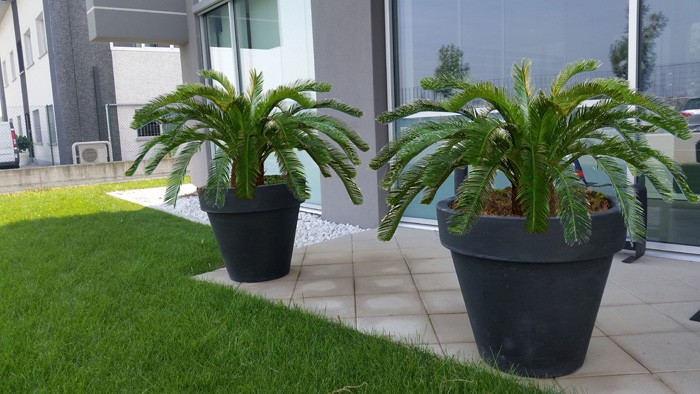 Cycas Baby Country